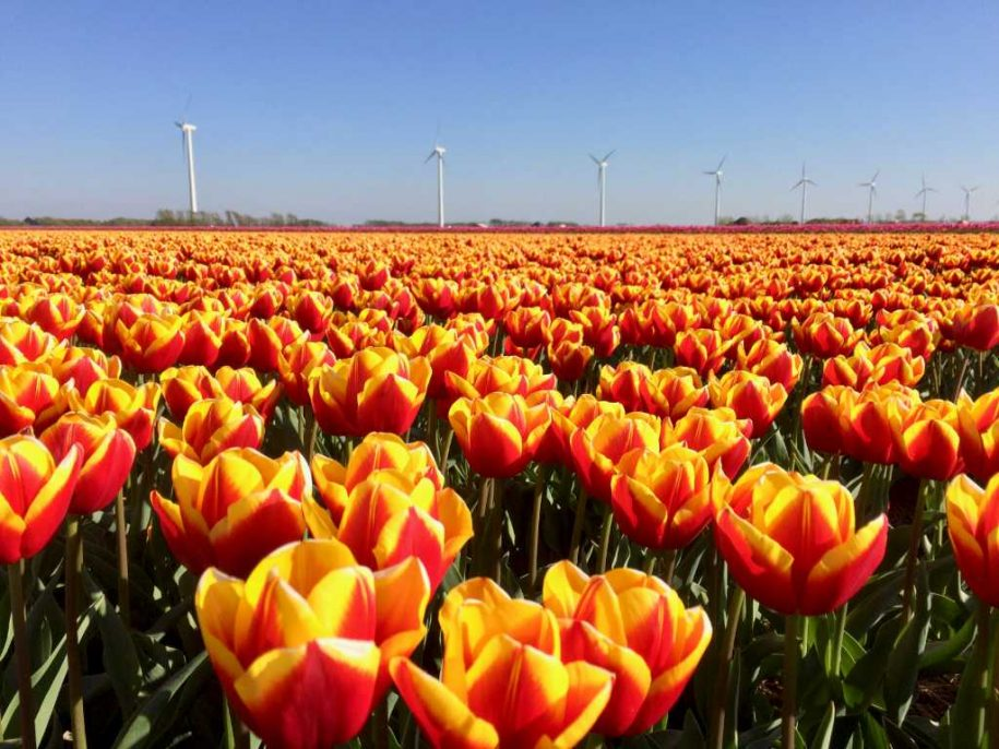 Tour from Amsterdam to the tulip fields