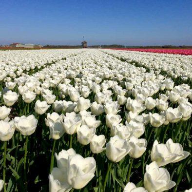 Tulip cruise Amsterdam